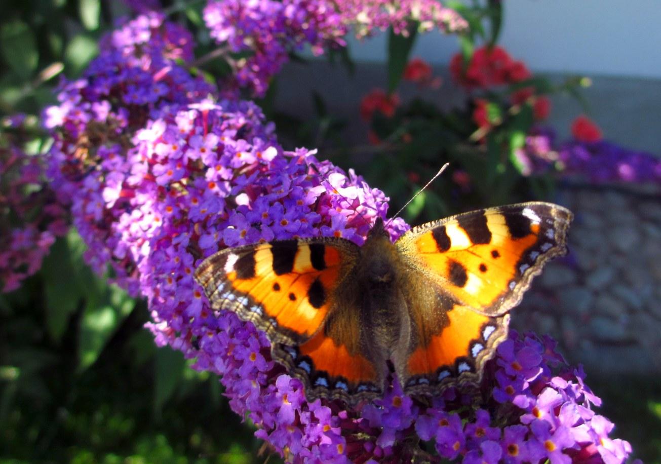 Fjärilar 001