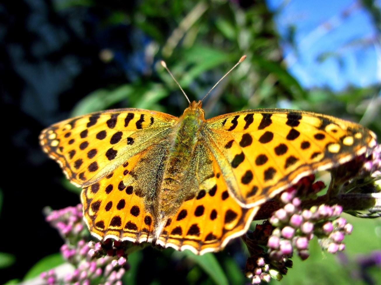 Fjärilar 014