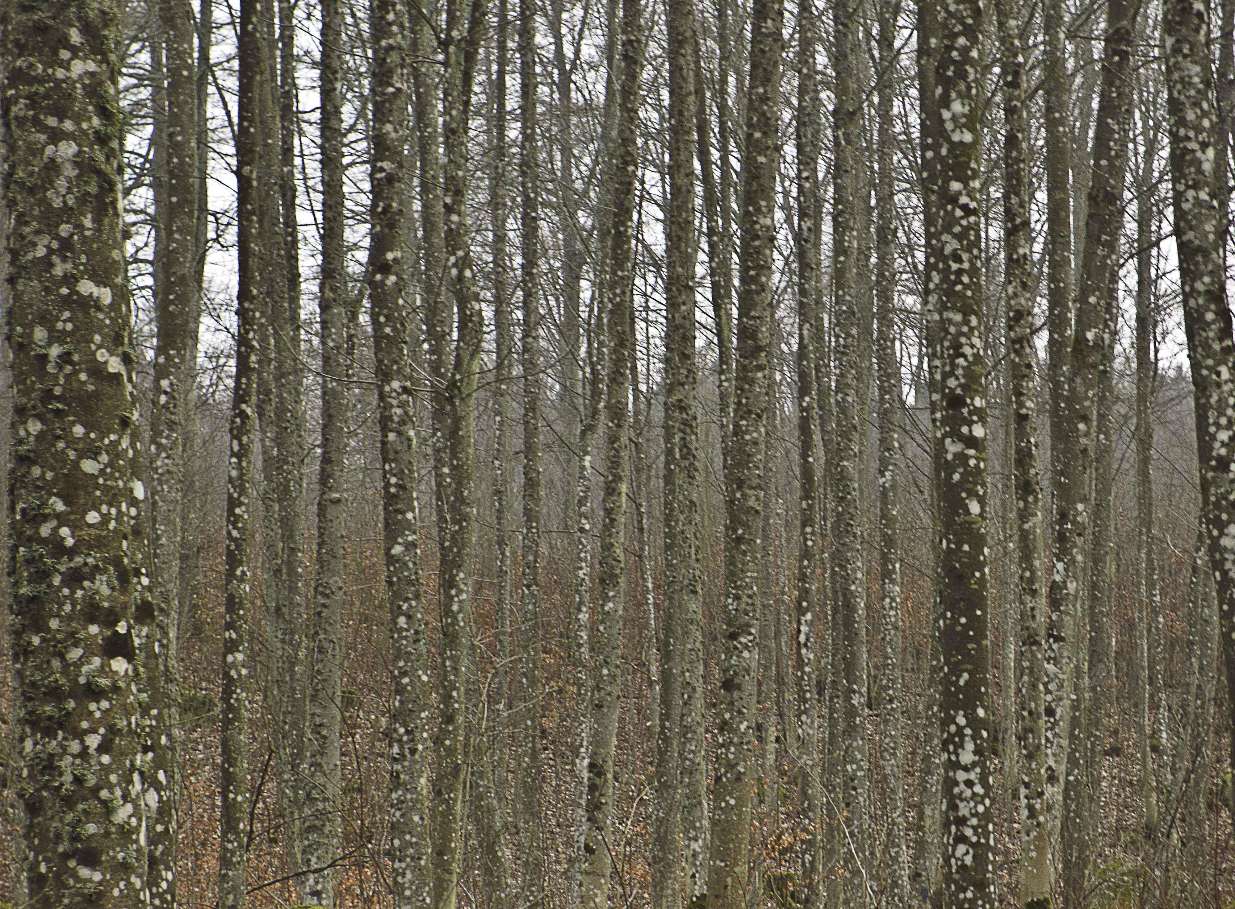 Lavar – eller Vad hände med träden?