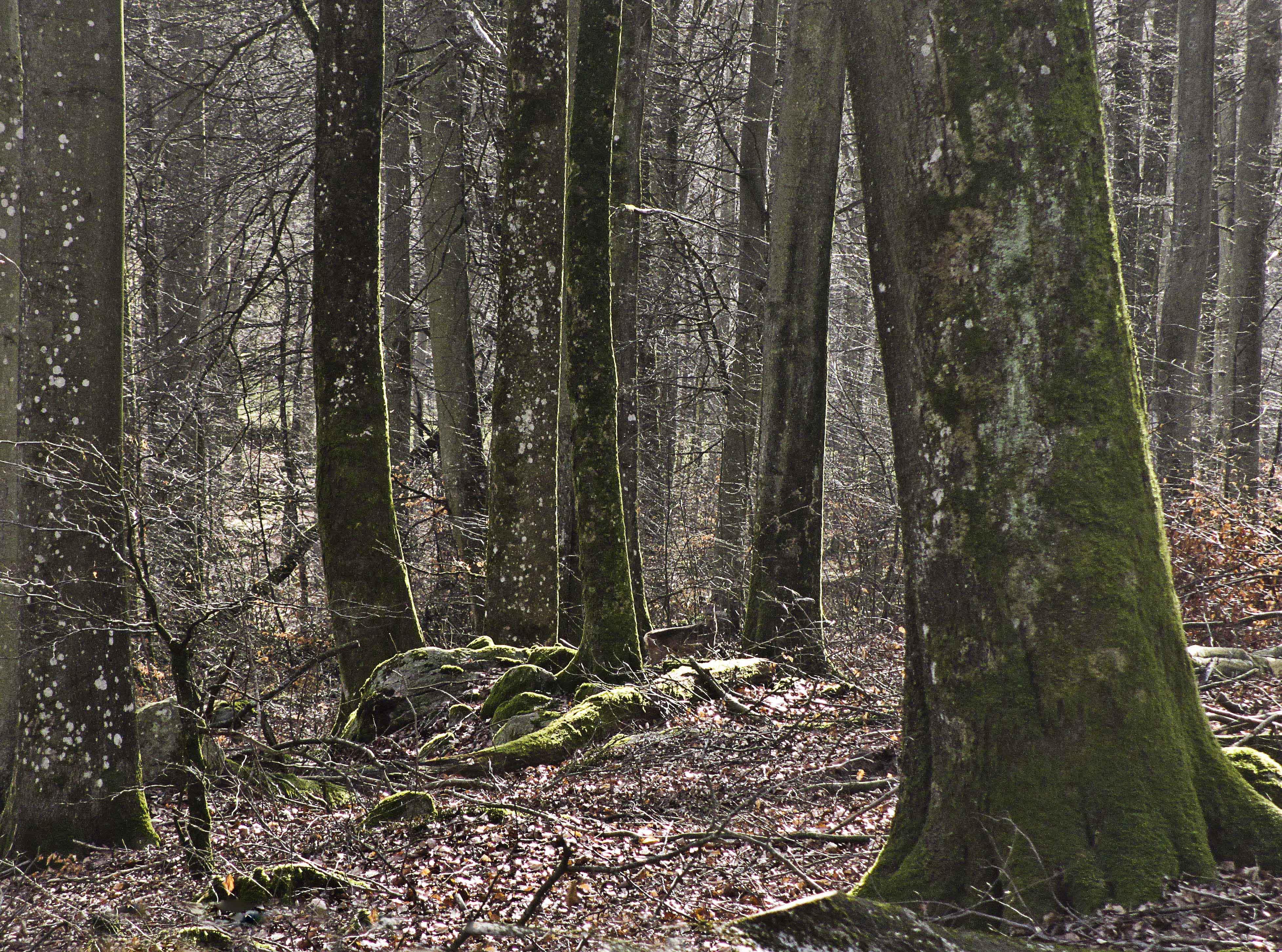 Ser du rådjuret? Can you see the deer?