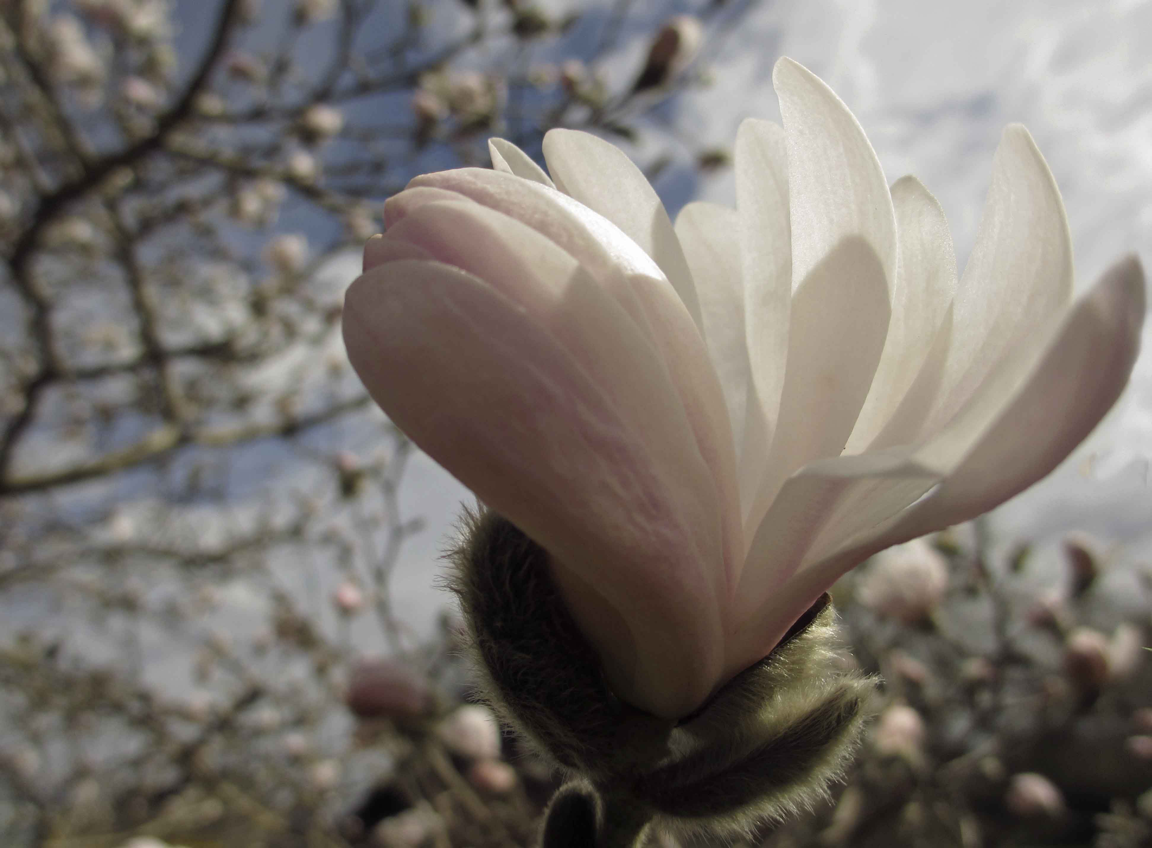 Magnoliadröm