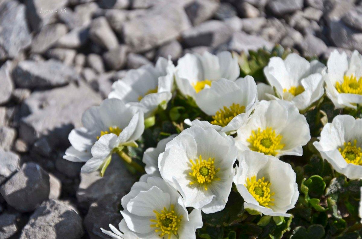 Isranunkel - Ranunculus glacialis