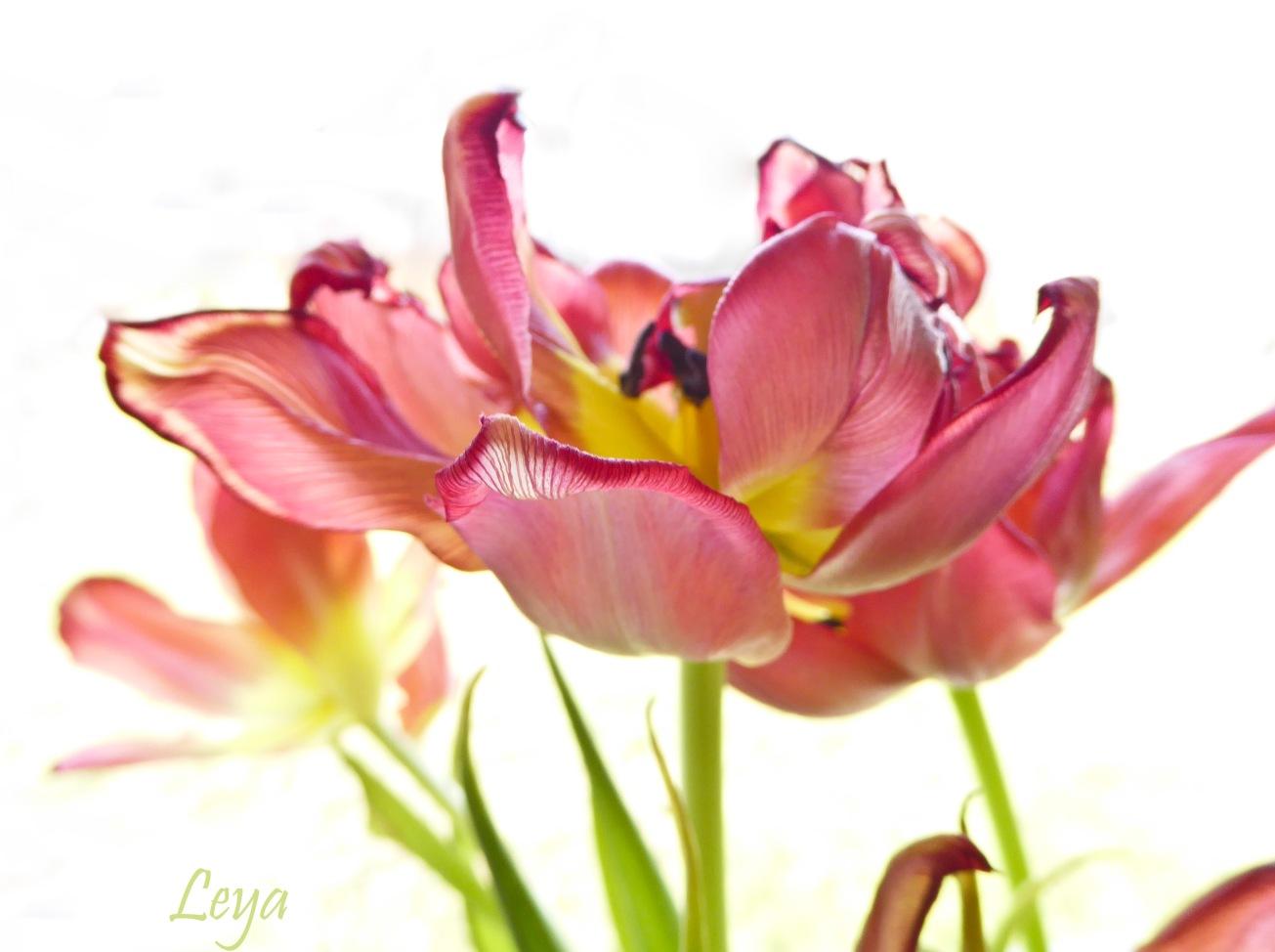 Högdagerbilder på husets blomning 121_copy