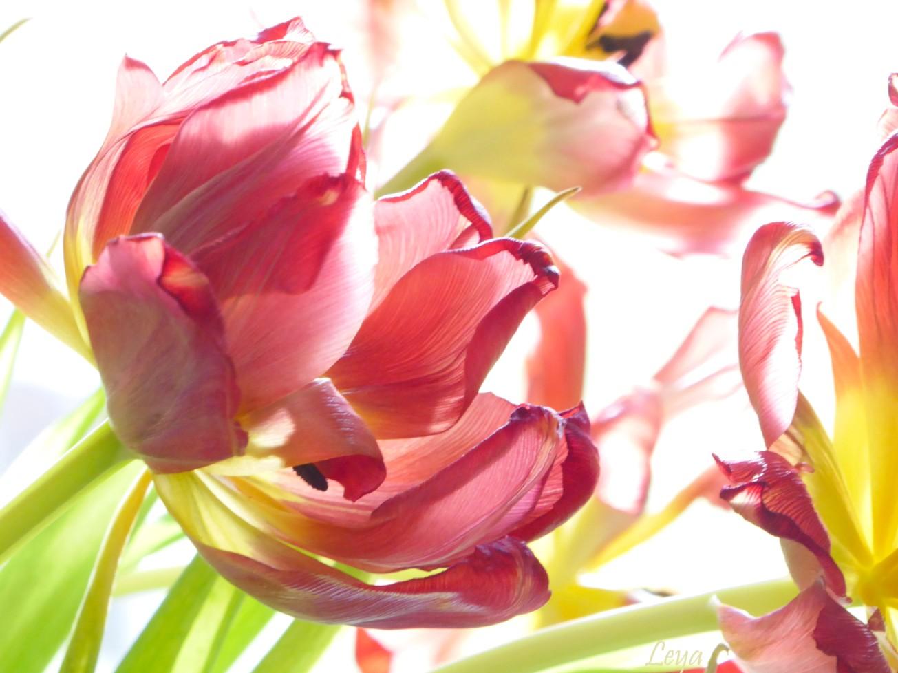 Högdagerbilder på husets blomning 223_copy