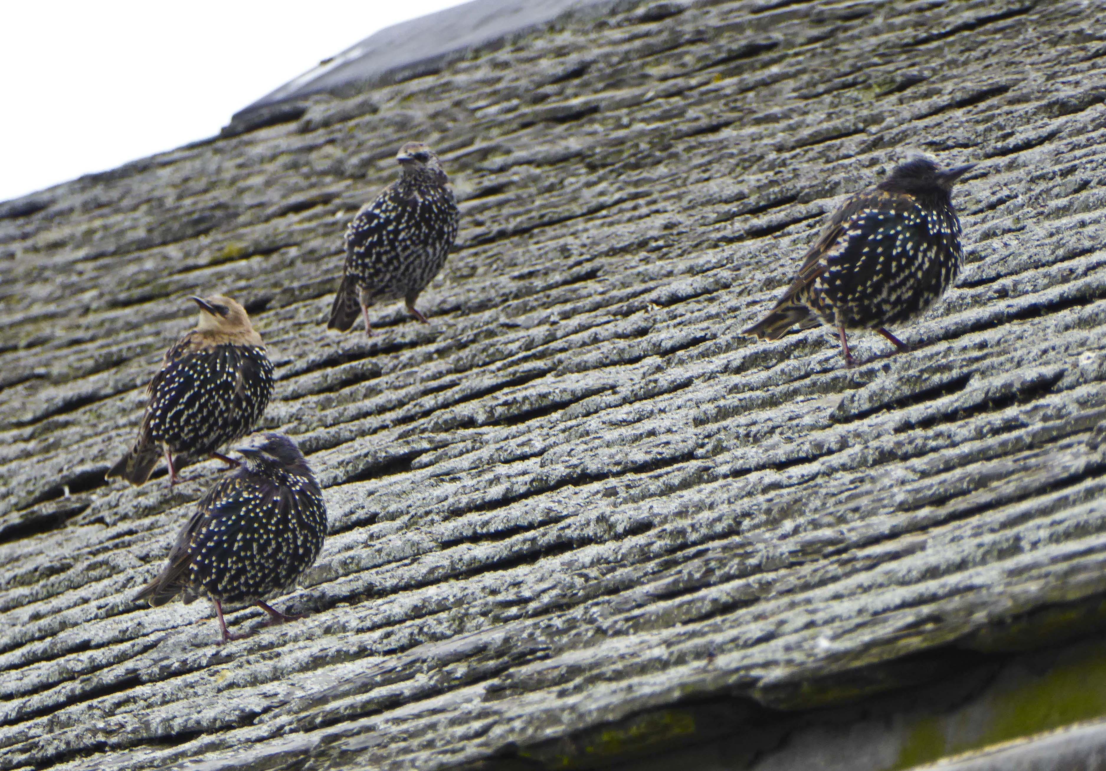 Regent's Park – Starlings