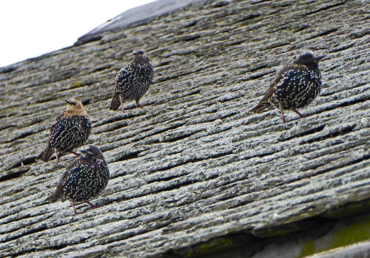 Regent's Park - Starlings