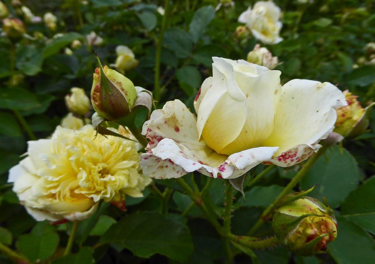 Kew Gardens - Roses