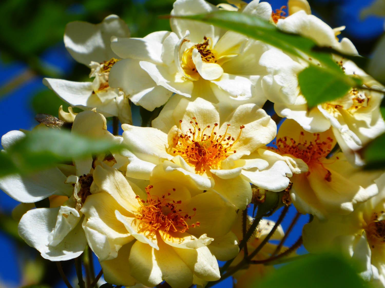 Roses – Ronneby Brunn