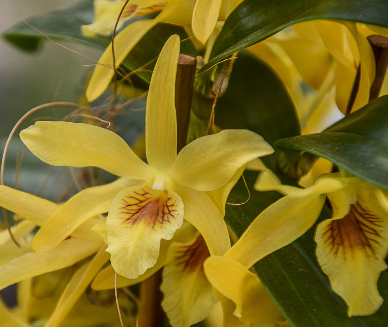 Keukenhof – Orchids